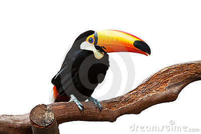 ISOLATED TOUCAN