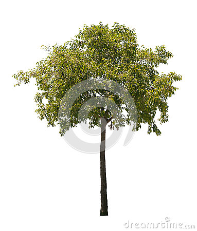 Free Isolated Tree Stock Photo - 25221690