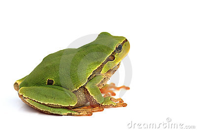 Isolated tree frog
