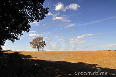 Isolated tree in the Tuscan countryside