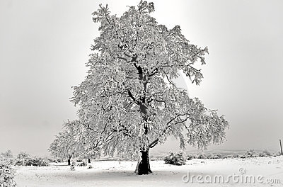 Isolated Tree in winter