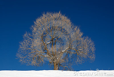 Isolated tree in winter season