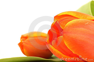 Isolated tulip