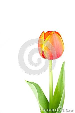 Isolated tulip flower