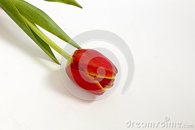 Isolated tulip flower