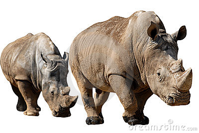 Isolated two white rhinoceros