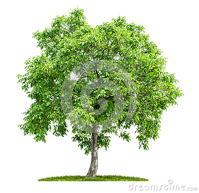 Free Isolated Walnut Tree Royalty Free Stock Images - 32156239