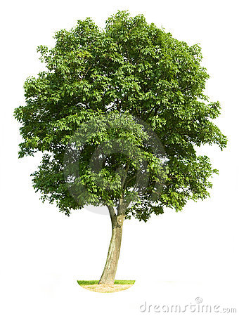 Free Isolated Walnut Tree Stock Photos - 5940693