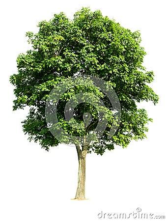 Isolated Walnut Tree