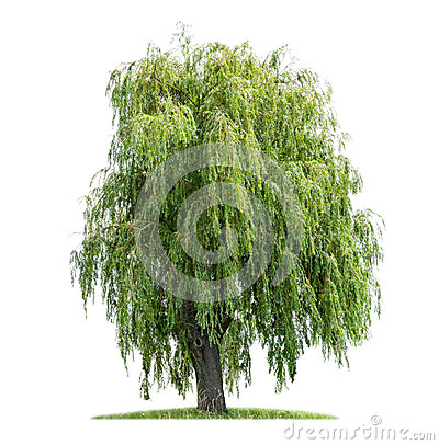 Free Isolated Weeping Willow Royalty Free Stock Images - 32156199