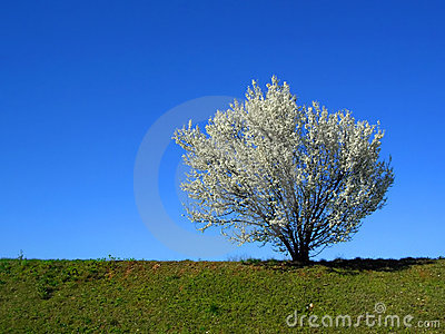Isolated white blossoming cherry tree in a spring afternoon, hor
