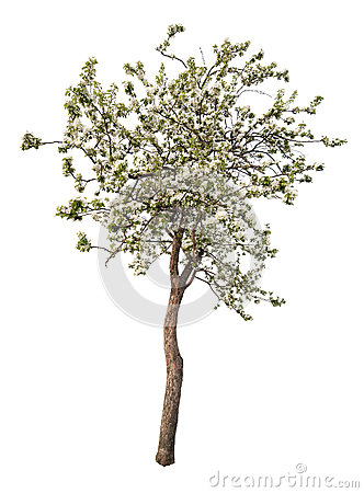 Isolated white color blooming apple tree