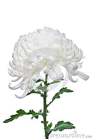 Isolated white daisy