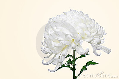 Isolated white daisy 4