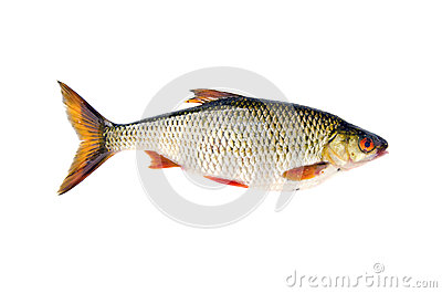 Isolated on white fresh fish roach