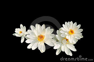 Isolated white lotus