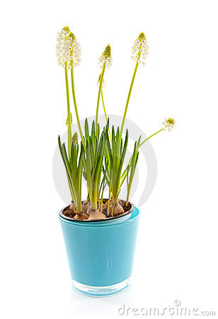 Isolated White magic flower of Muscari botryoides