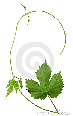 Isolated wild hops shoot