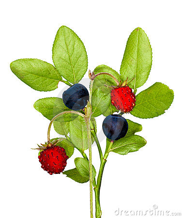 Isolated wild strawberry and blueberry