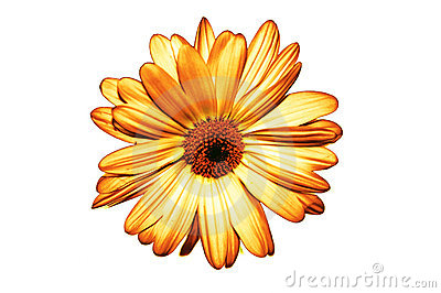 Isolated yellow flower on white background