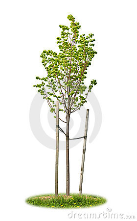 Free Isolated Young Linden Tree Royalty Free Stock Image - 14704186