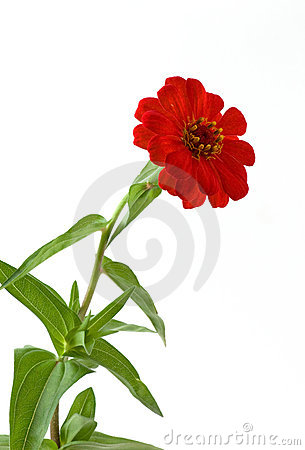Free Isolated Zinnia Royalty Free Stock Images - 20603469