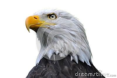 Isolerad skallig örn