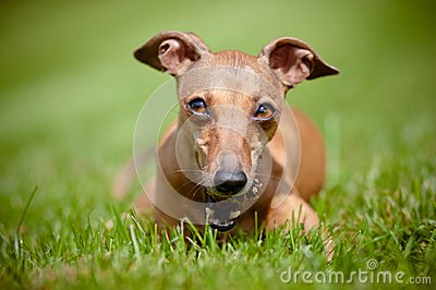 Italian greyhound dog with a cone