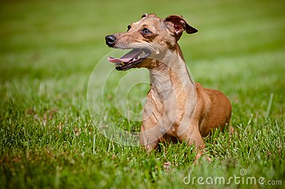 Italian greyhound dog portrait