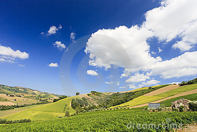 Italian landscape with vineyard in summer