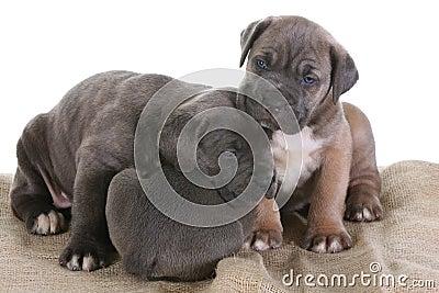 Italian Mastiff Cane Corso Royalty Free Stock Images - Image: 8432279