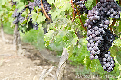 Italian Nebbiolo Red Wine Grapes on the Vine #1