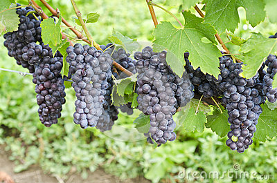 Italian Nebbiolo Red Wine Grapes on the Vine #3