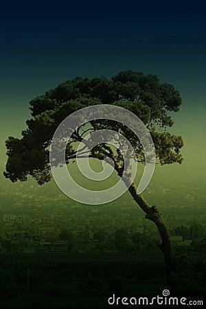 Free Italian Stone Pine Tree Royalty Free Stock Image - 3481846