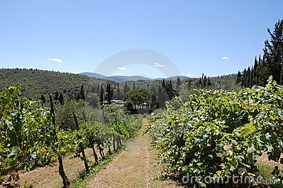 Italian tuscany vineyard