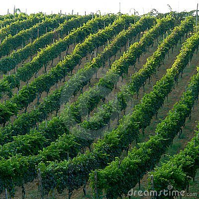 Free Italian Vineyard Stock Photos - 129133