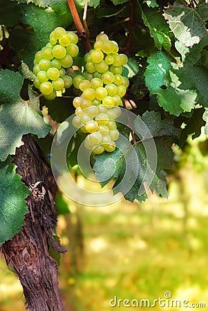 Free Italian Vineyard Stock Image - 26392741