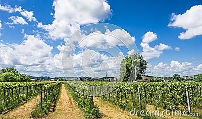 Italian Vineyard with sunny cloudy Sky