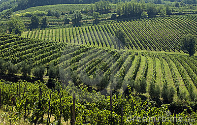 Italian Vineyards 2