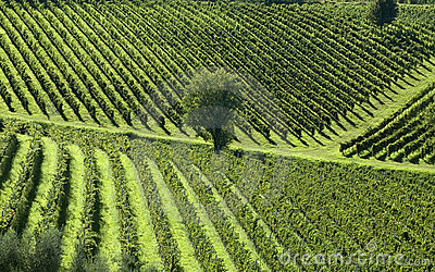 Italian Vineyards 5
