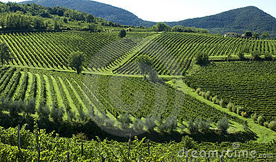 Italian Vineyards 6