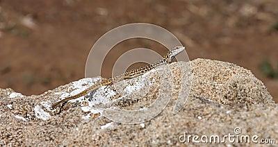 Italian wall lizard at a rock, Populonia