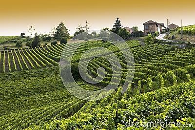 Italienischer Weinberg