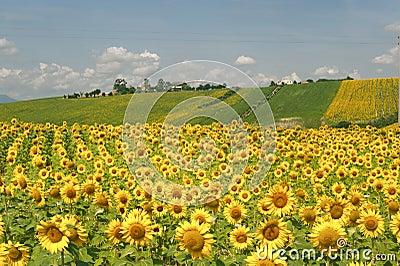 Italy krajobrazowi marszów słoneczniki
