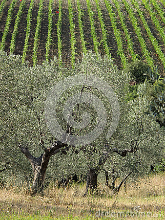 Italy, Olive tree in the Tuscany