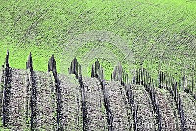 Italy: Wine grove in Piemonte