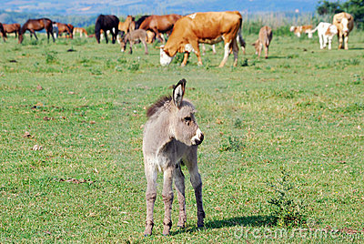 Ittle donkey on pasture