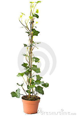 Free Ivy Stock Photography - 24189772