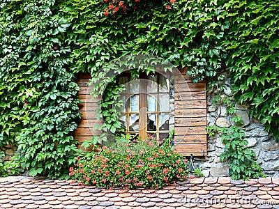 Ivy around a window
