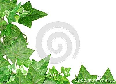 Ivy border